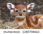 Cute Face Of Baby Sitatunga