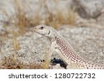 desert iguana lizard close | Shutterstock . vector #1280722732