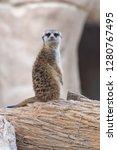 a meerkat  suricata suricatta ...   Shutterstock . vector #1280767495