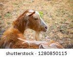 close up of golden guernsey...   Shutterstock . vector #1280850115