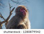 japanese macaque ape. some... | Shutterstock . vector #1280879542