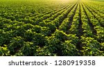 soybean plantation at sunny day  | Shutterstock . vector #1280919358