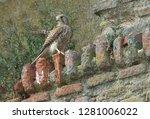 lesser kestrel bird of prey | Shutterstock . vector #1281006022