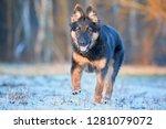 bohemian shepherd  six months... | Shutterstock . vector #1281079072