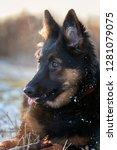 bohemian shepherd portrait  six ... | Shutterstock . vector #1281079075