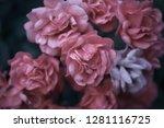 sweet pink roses in vintage... | Shutterstock . vector #1281116725