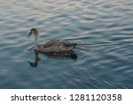 Young Swan In The Water Channe