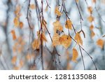 dry birch leaves on a tree in... | Shutterstock . vector #1281135088