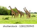 closeup of masai giraffe ... | Shutterstock . vector #1281250945