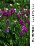 Usa  Parry Primrose  Primula...