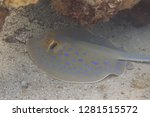 bluespotted stingray on coral... | Shutterstock . vector #1281515572