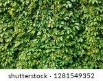 grape leaves   texture  wall... | Shutterstock . vector #1281549352