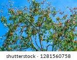 organic persimmon fruit on tree ... | Shutterstock . vector #1281560758