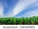 sugarcane plantation in... | Shutterstock . vector #1281609802
