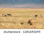 male lion in ngorongoro...   Shutterstock . vector #1281692695