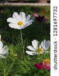 closeup white cosmos flower in... | Shutterstock . vector #1281697732