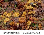 Old Decaying Chanterelle...