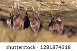 Stock photo close up group of small sleeping horseshoe bat covered by wings hanging upside down on top of cold 1281874318