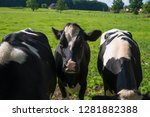 black and white frisian cows in ... | Shutterstock . vector #1281882388