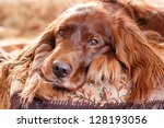 Red Irish Setter Dog Portrait
