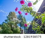 pink roses in the park of izu ... | Shutterstock . vector #1281938575