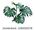 monstera leaves  the tropical... | Shutterstock . vector #1282020178