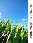 A Corn Field Under A Blue Sky.