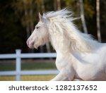 white irish cob portrait in...   Shutterstock . vector #1282137652