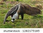 giant anteater  myrmecophaga... | Shutterstock . vector #1282175185