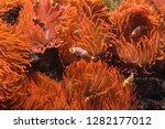 ocellaris clownfish  amphiprion ... | Shutterstock . vector #1282177012
