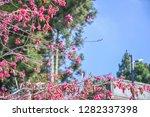 sakura flower background.... | Shutterstock . vector #1282337398