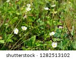 wild strawberry flowers on...   Shutterstock . vector #1282513102