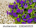 Pretty Blooming Horned Violet...