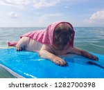 Relaxing Pug Dog On The Sea...