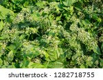 mikania micrantha is a tropical ... | Shutterstock . vector #1282718755