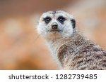 suricate or meerkat  suricata...   Shutterstock . vector #1282739485