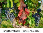 czech vineyards from moravia as ... | Shutterstock . vector #1282767502