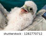 cute little young kestrel... | Shutterstock . vector #1282770712