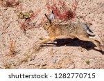 Stock photo hare rabbit running in sandy arid place 1282770715