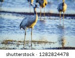 common crane birds in the... | Shutterstock . vector #1282824478