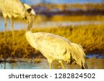 common crane birds in the... | Shutterstock . vector #1282824502