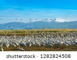 common crane birds in the... | Shutterstock . vector #1282824508