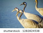common crane birds in the... | Shutterstock . vector #1282824538