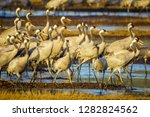 common crane birds in the... | Shutterstock . vector #1282824562