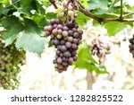 close up seedless grapes in the ... | Shutterstock . vector #1282825522