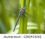 Stock photo hairy dragonfly brachytron pratense resting on vegetation on vivid green background 1282913242