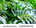 monstera plant tropical green... | Shutterstock . vector #1283029648