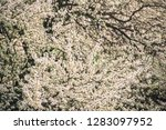 blossoming of plum flowers in...   Shutterstock . vector #1283097952
