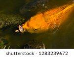 common carp the herbivorous... | Shutterstock . vector #1283239672