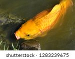 common carp the herbivorous... | Shutterstock . vector #1283239675